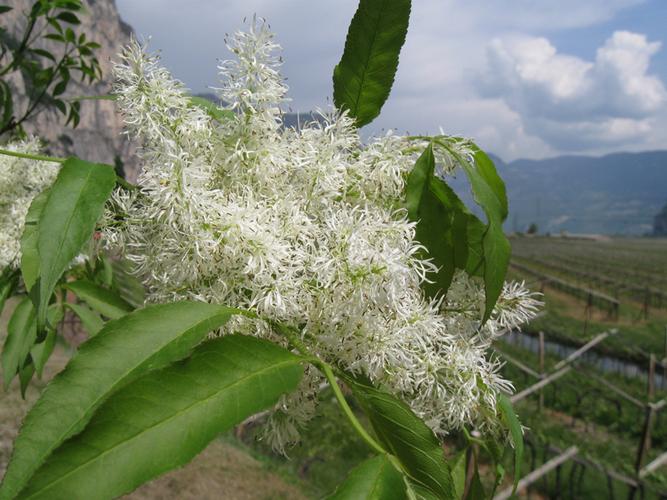 Piccoli grappoli bianchi sulla foto del pene puntini for Fiori bianchi profumati a grappolo
